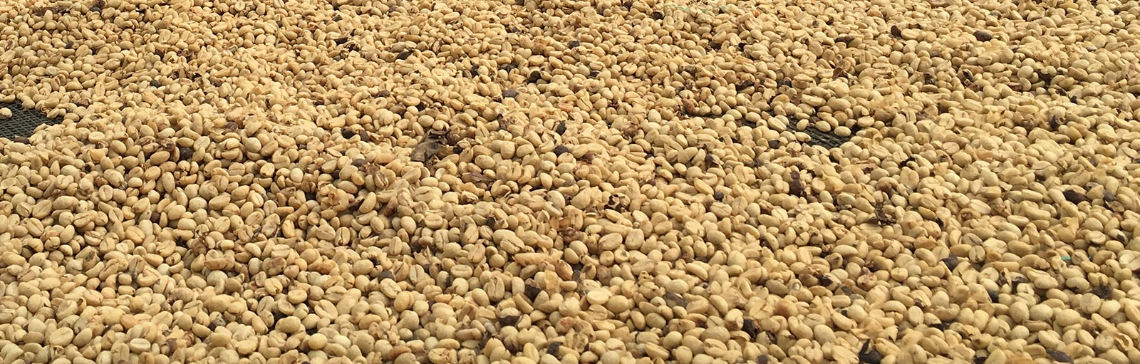 Control of odours and Bioremediation of coffee plantations affected by the drill bits